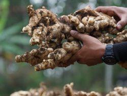 Bupati Garut Dongkrak Ekspor Jahe Lewat Kampung Hortikultura Kementan
